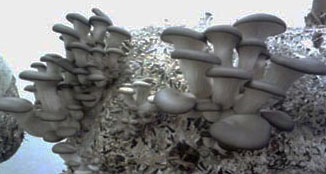 грибы вешенка