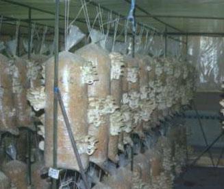 Помещение для выращивание грибов вешенка в домашних условиях 19