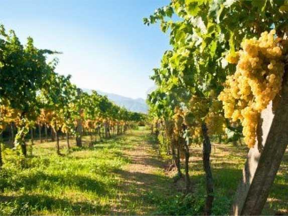 virashivanie-vinograda
