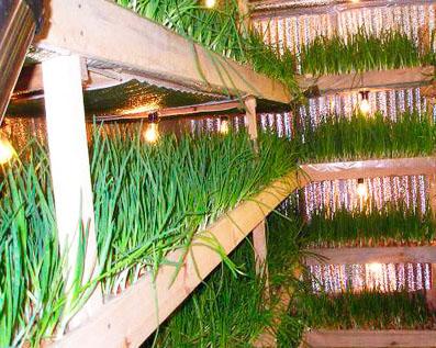 выращивание зелени лука