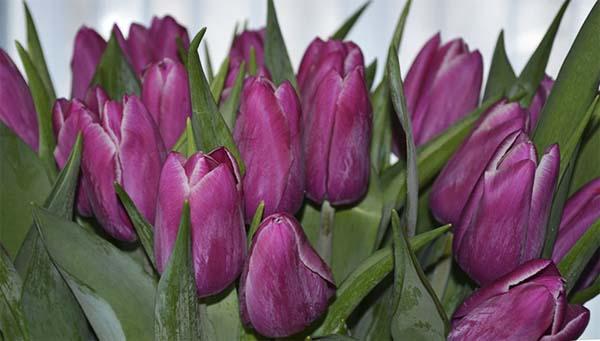 выгонка тюльпанов как бизнес