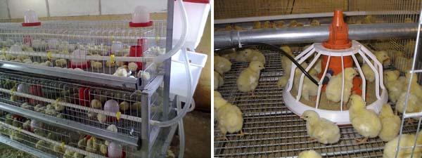 содержание цыплят на птицефабрике