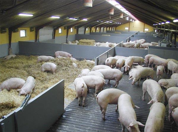 свиноферма бизнес план
