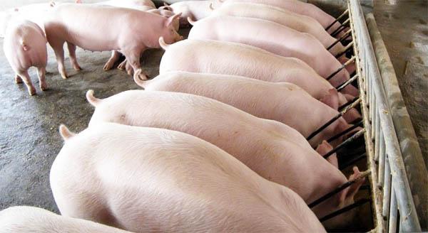 свиноферма бизнес