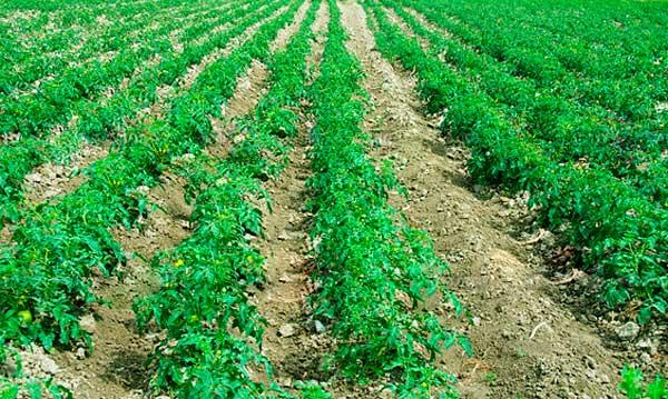 бизнес выращивание помидоров