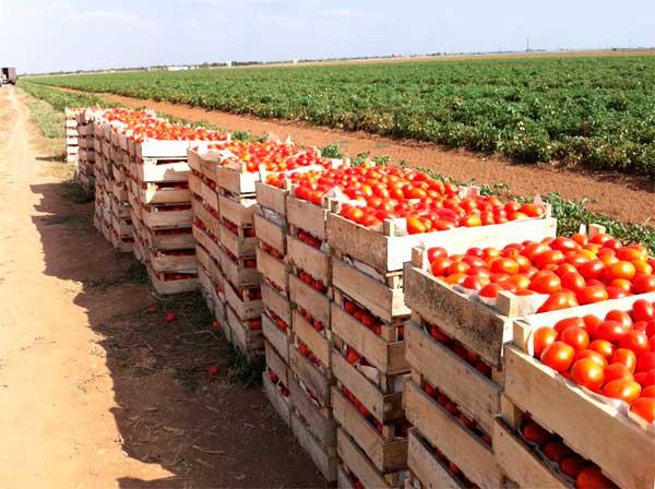 томаты бизнес